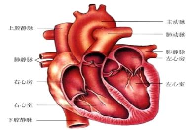 手绘画心脏结构简图