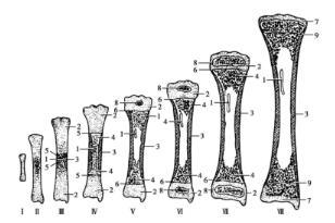 �^4獼���x�o_肢体长骨结构分骨干,骨骺和干骺端三个部分.
